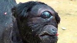 Κατσικούλα - κύκλωπας γεννήθηκε σε χωριό της Ινδίας και έχει επιβιώσει παρά τις προβλέψεις των