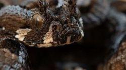 Σπάνιο δηλητηριώδες φίδι που είχε «εξαφανιστεί» επανεμφανίστηκε στην Νότια