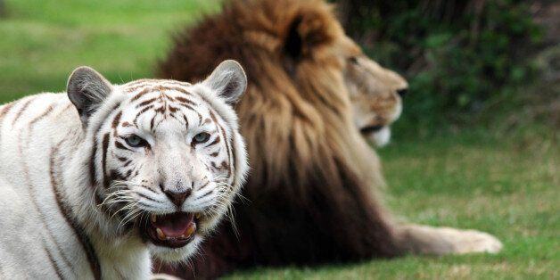 TAMPA, FLORIDA - UNDATED. EXCLUSIVE: Lion Cameron and white tiger Zabu pictured at the Big Cat Rescue...