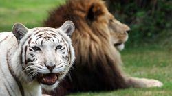 Αίτημα να σταματήσει η διασταύρωση λιονταριών με τίγρεις. Γιατί είναι