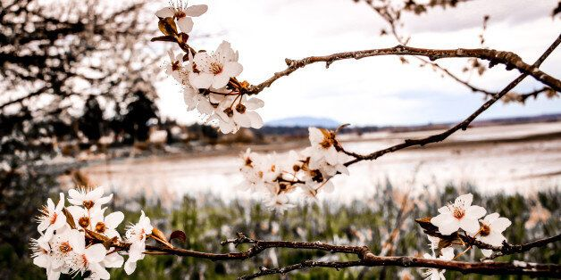 A spring cherry blossom tree in bloom in April, in front of the Pacific Ocean background in Royston, British Columbia.