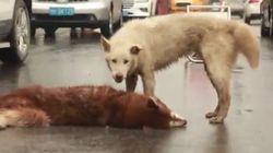 Η σπαρακτική στιγμή κατά την οποία ένας πιστός σκύλος προσπαθεί να «ξυπνήσει» τον νεκρό φίλο