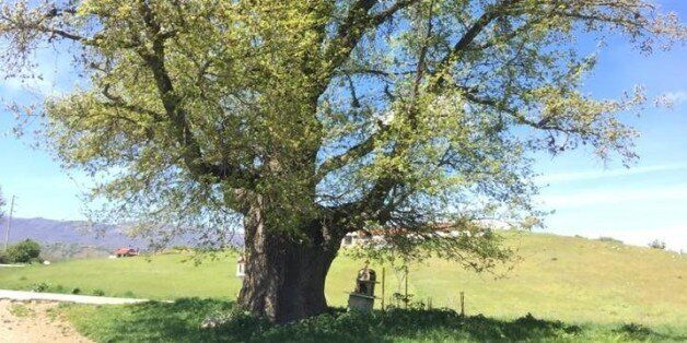 Η αρχαιότερη βελανιδιά της Ευρώπης βρίσκεται στην Ελλάδα: Δρυς 1.300 ετών στη Δεσκάτη