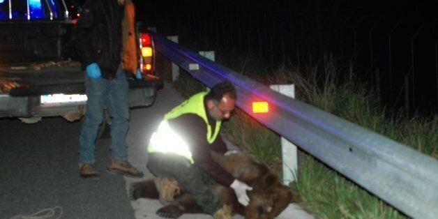 Νέο τροχαίο με θύμα αρκούδα. Έκκληση των οργανώσεων για λήψη πρόσθετων