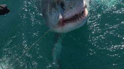 Ψαράδες έριξαν το αγκρίστρι τους και έπιασαν έναν μεγάλο καρχαρία στις... ακτές της