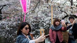 H άνοιξη ήρθε και επίσημα στην Ιαπωνία. Oι κερασιές άνθισαν μετατρέποντας το Τόκιο σε μία ροζ