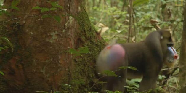 Γιατί αυτοί οι αρσενικοί πίθηκοι έχουν μεγάλα, πολύχρωμα
