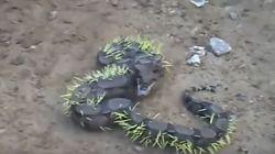 Το χειρότερο γεύμα της ζωής του: Τι έπαθε φίδι που έφαγε