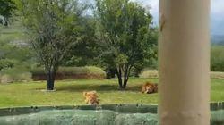 Τουρίστες παρακολουθούν «παγωμένοι» μια λέαινα-«ναυαγό» να πηδά προς το μέρος τους σε πάρκο στο