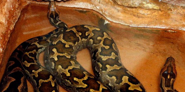 Two python molurus are seen with rabbits in a cage at the family-owned Palmyre Zoo in the 18 hectares...