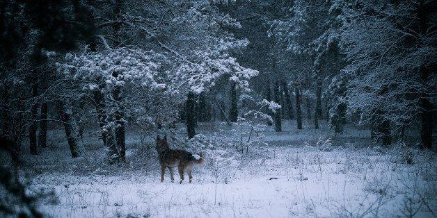 shepherd dog in winter forest, mongrel