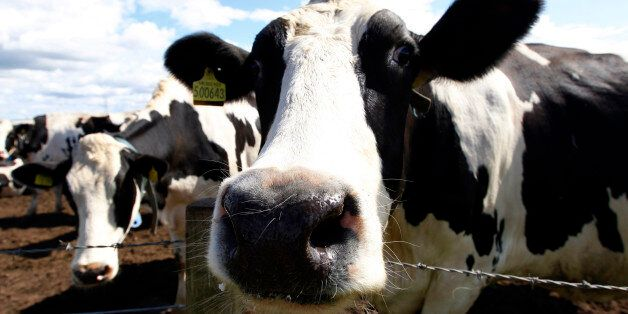 Holstein cows stand in a field at a farm near Nairn in northern Scotland August 4, 2010. Britain's food...