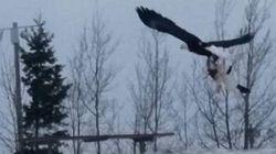 Η μάχη για την επιβίωση: Πεινασμένος αετός «αρπάζει» γάτα η οποία κάνει τα πάντα για να ξεφύγει από τα νύχια