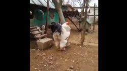 Κόκορας-γίγας «βασιλεύει» ένα ολόκληρο κοτέτσι. Απίστευτο το μέγεθός