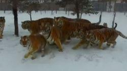 BBC: Τίγρεις στη Σιβηρία όπως τις κατέγραψε