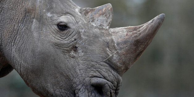 White rhinoceros Bruno is seen in his enclosure at Thoiry zoo and wildlife park, about 50 km (30 miles)...