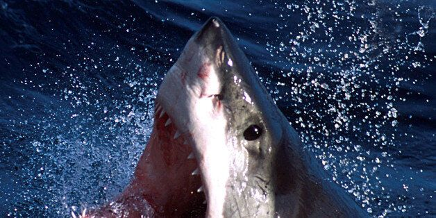 - An undated photo - of a Great White shark which can now be repelled by a electronic shark shield. An...