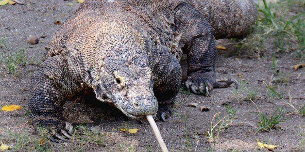 SURABAYA, INDONESIA - JUNE 05: A Komodo dragon seen at a zoo on June 05, 2015 in Surabaya, Indonesia....
