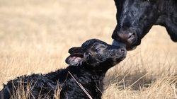 Σύντομα θα τρώμε ζωικό κρέας χωρίς να σφαγιάζονται