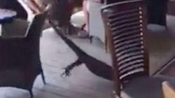 Ατρόμητη σερβιτόρα τραβάει από την ουρά τεράστιο γκοάνα που «τρύπωσε» σε εστιατόριο στην