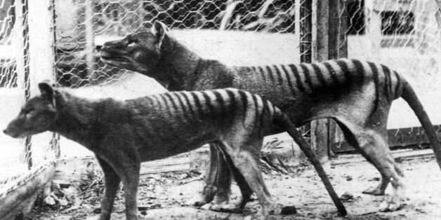 Now extinct, Tasmanian Tiger (thylacine) in Hobart Zoo Tasmania;Australia. 1933. (Photo by: Universal...