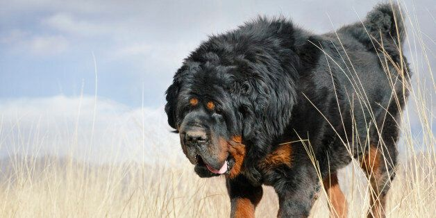 Dog tibetan mastiff walking in