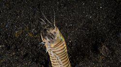 Αυτό το αιμοβόρικο σκουλήκι που κρύβεται στην άμμο είναι βγαλμένο από τους εφιάλτες