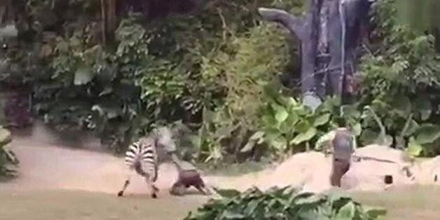 Απίστευτο: Ζέβρα επιτίθεται σε εργαζόμενο πάρκου άγριας
