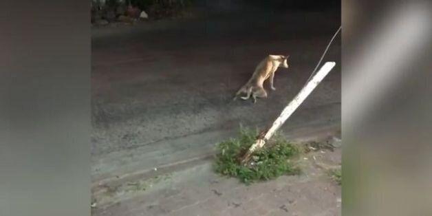 «Στα πράσα» πιάστηκε αδέσποτος σκύλος που παρίστανε τον