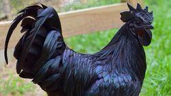 H Lamborghini των πουλερικών: Το σπάνιο κατάμαυρο κοτόπουλο με το «μαγικό»