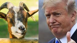 El granjero en jefe: cómo un rebaño de cabras ayuda a Trump a no pagar