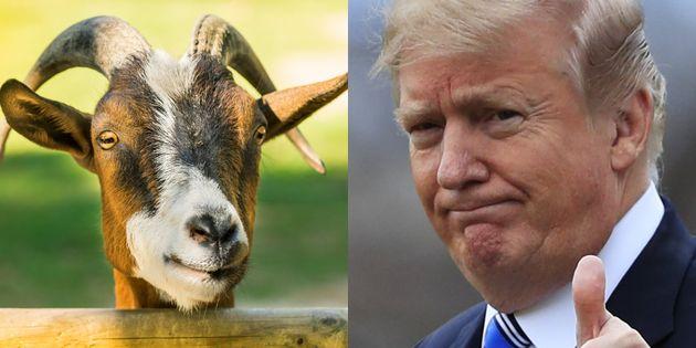 Una cabra y el presidente de EEUU, Donald