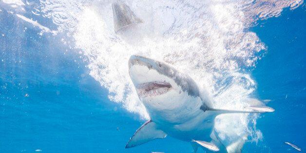 ENSENADA, MEXICO - SEPTEMBER 15: Great White Sharks seasonally gather off the coast of Guadalupe Island;...