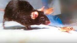 Επιστήμονες δημιούργησαν ποντίκια δολοφόνους με τη χρήση λέιζερ. Επόμενος σταθμός ο