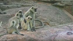 Πίθηκοι πενθούν για τον «θάνατο» ψεύτικης