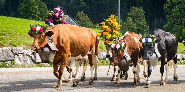 Farmers with a herd of cows on the annual transhumance at Charmey near Gruyeres, Fribourg zone on the...