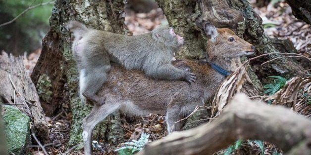 Μαϊμού μακάκο προσπαθεί να κάνει σεξ με δύο μικρά ελαφάκια...και πιάνεται επ αυτοφώρω από την