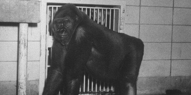 Mother gorilla of Colo, baby gorilla, of Columbus, Ohio zoo, 1st to survive birth in captivity. (Photo...