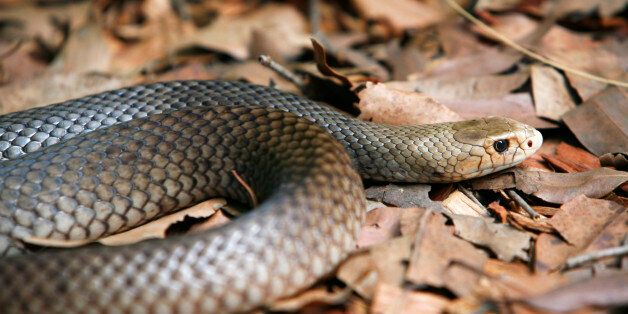 'Close-up of an alert and deadly Coastal Taipan, Oxyuranus scutellatus, as it slowly unwinds its coiled...