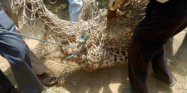 A leopard is carried in a net by zoo officials near Kamlapur village, 45 km (28 miles) west from the...