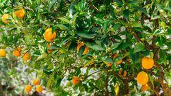 Μετανάστες-«σκλάβοι» στους πορτοκαλεώνες του