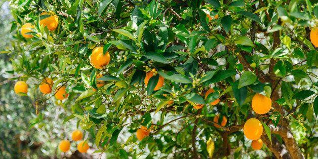 Greece, Crete, Orange