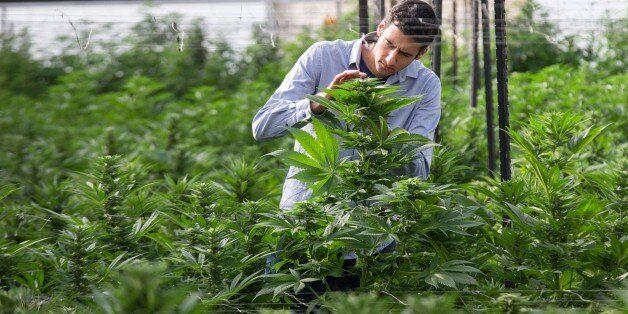 An Israeli agricultural engineer inspects marijuana plants at the BOL (Breath Of Life) Pharma greenhouse...