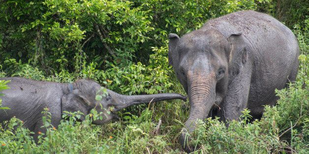 Way Kambas, Lampung, 18 December 2016 : Melly, a domesticated elephant with her child at ERU camp Waykambas....