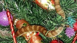 Ένα φίδι «μεταμφιέστηκε» σε γιρλάντα χριστουγεννιάτικου δέντρου στην