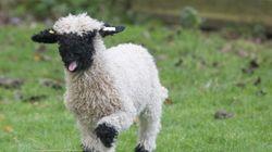 Η αστυνομία ψάχνει ένα πρόβατο. Το έχετε