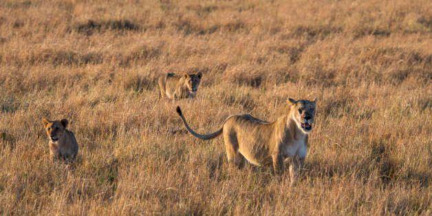 KENYA - 2016/08/27: Lions (Panthera leo) walking through the grasslands of the Masai Mara National Reserve...