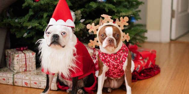 Two boston terriers in Christmas costumes in front of the Christmas tree.