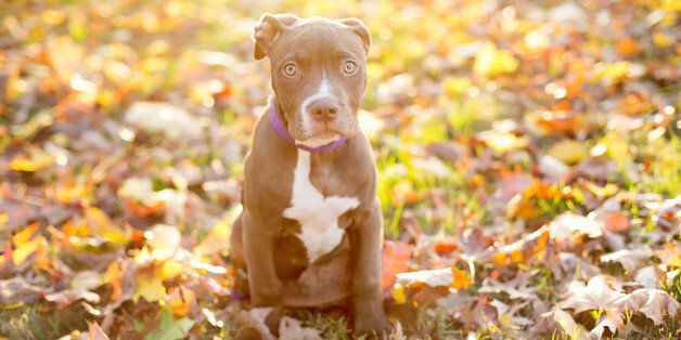 Image of chocolate pit bull mix puppy backlit in fall leaves with beautiful lemony sun behind