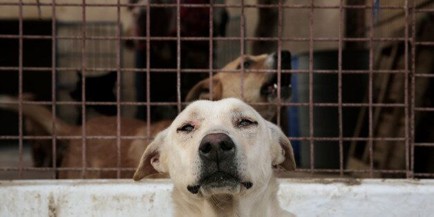 In this Friday, Feb. 27, 2015 photo, dogs rest at the Egyptian Society for Mercy to Animals (ESMA) animal...